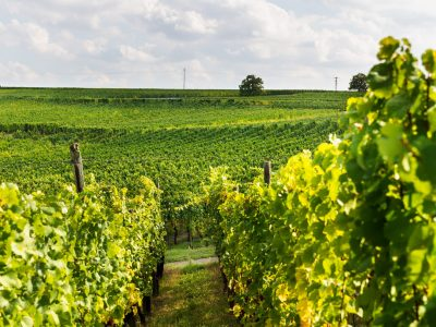 ripe-grapes-in-fall-in-alsace-france-S5B5AYF